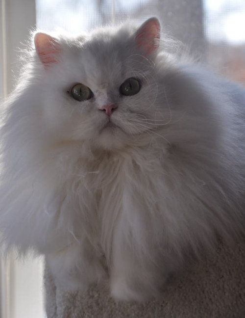 ライオンみたいなたてがみの猫たち03