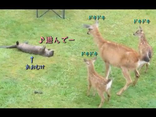 鹿の親子と遊びたいカワウソ00