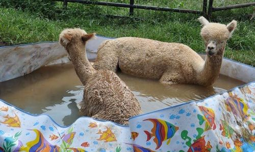 プールに動物05