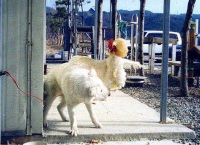 犬がニワトリと本気で戦う05