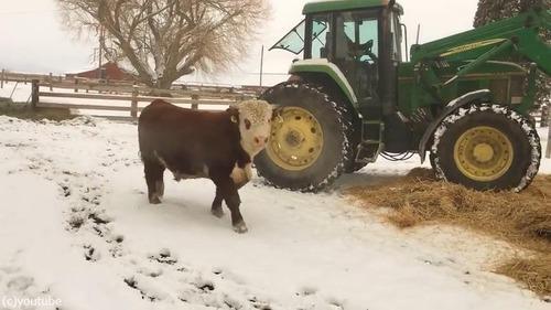 新しいベッドにはしゃぐ牛がかわいいいいい04