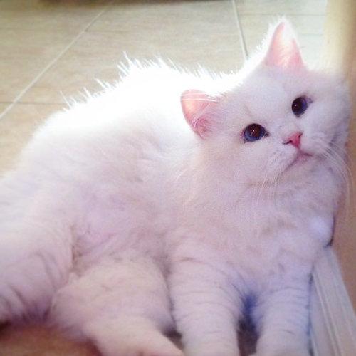 保護した子猫が、すばらしい毛並だった06