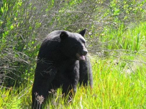 おぼれる熊を素手で助け出す12