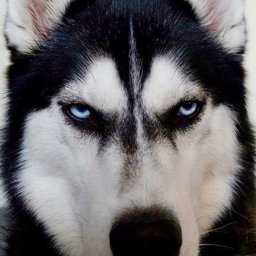 目つきの鋭いハスキー犬にトナカイ衣装05