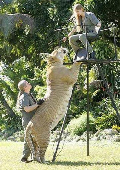 虎とライオンの交配種・ライガーbig
