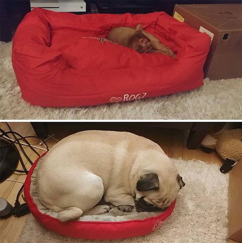 猫にベッドを奪われた犬たち07