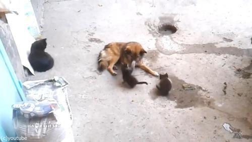 母猫が旧友の犬に会いにやって来た…子猫を連れて02