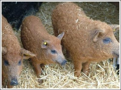 豚と羊の交配種11