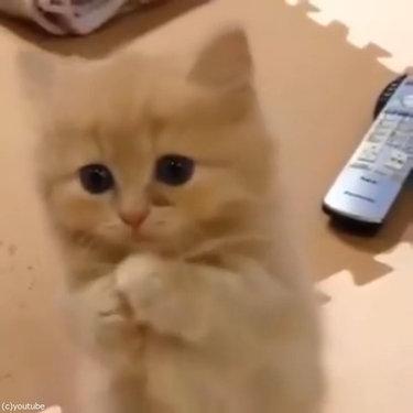 ペルシャ猫の赤ちゃん、お願いのポーズ05