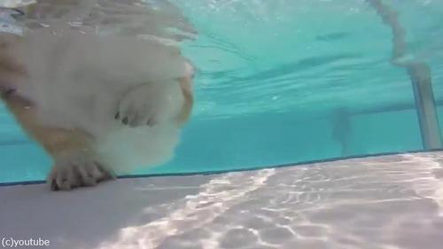 コーギーの泳ぎを水中からじっくり観察02