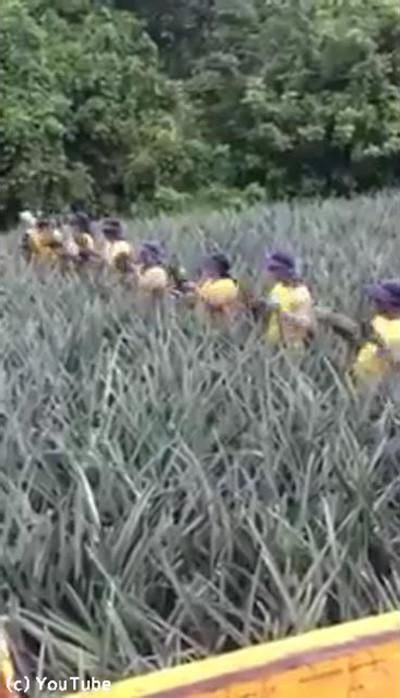 パイナップル園の収穫風景がすごい01