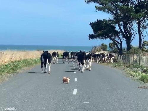 チワワが脱走した牛たちを追う01