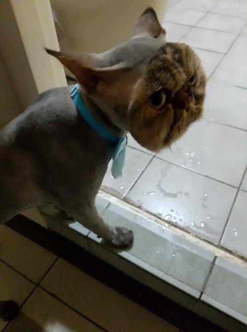 顔以外の全身を剃られた猫01