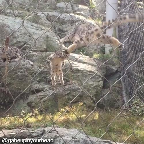 わが子のジャンプに驚くユキヒョウ03