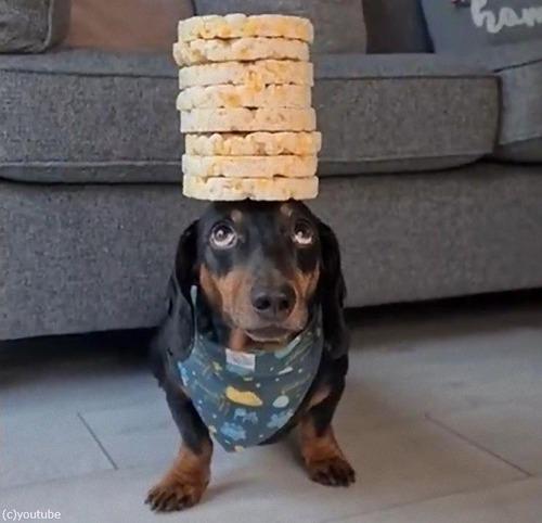 頭の上に8枚のお餅を乗せる犬05