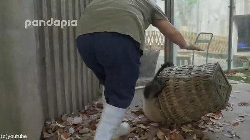子パンダたちの前で掃き掃除05