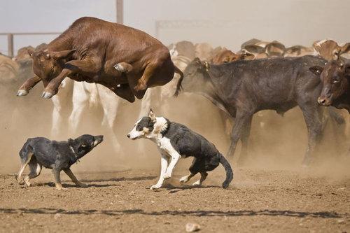 牛のジャンプ力を01
