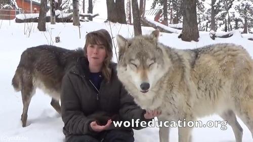 懐きまくりのオオカミが可愛過ぎる04