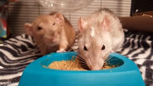 ネズミの食事バトル01