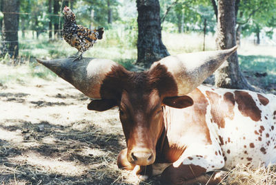 世界一のツノを持つ牛08