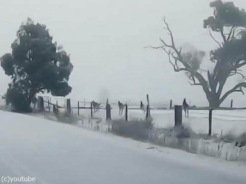 雪とカンガルー02