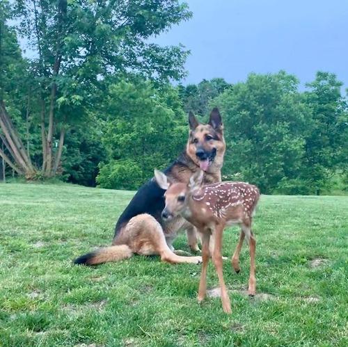 子鹿を世話する犬04