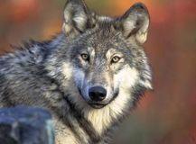 3.狼(Wolf)