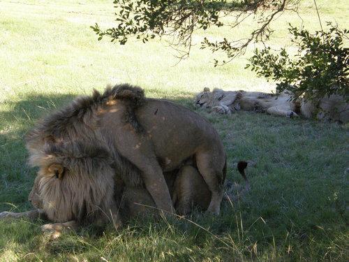 ライオンとノアの方舟03