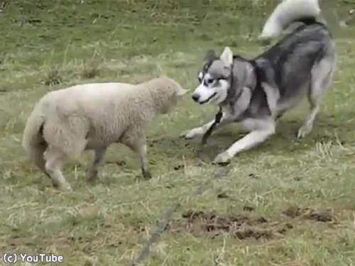 ハスキーと子羊は大親友00