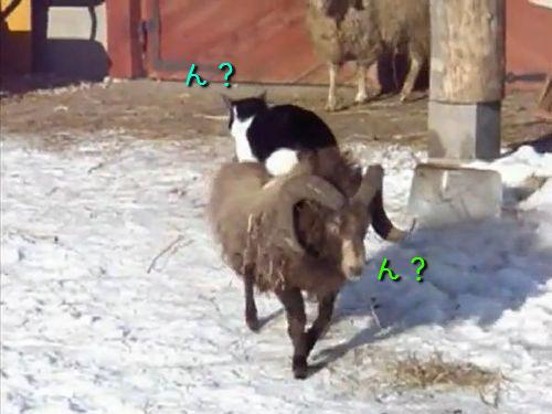 羊の上で移動する猫