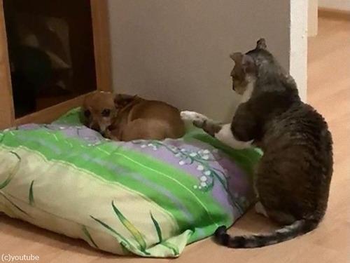犬と仲良しになりたい猫01