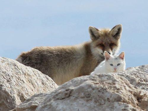 キツネと猫が仲良しに00