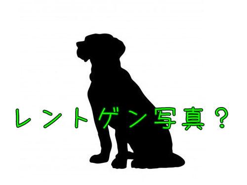 妊娠中の犬のレントゲン写真00