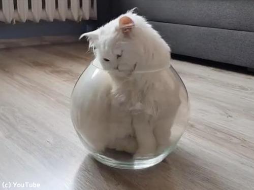 やっぱり液体だ…金魚鉢に入る猫00