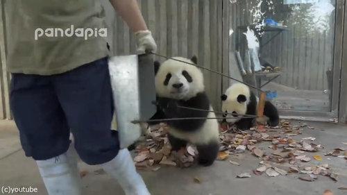 子パンダたちの前で掃き掃除06
