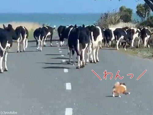 チワワが脱走した牛たちを追う00