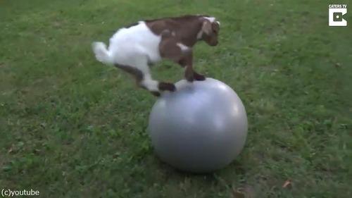 子ヤギにバランスボールを与えた結果01