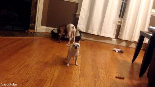 犬2匹がベッドの追い出しに成功07