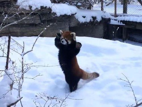 雪ではしゃぐレッサーパンダ01