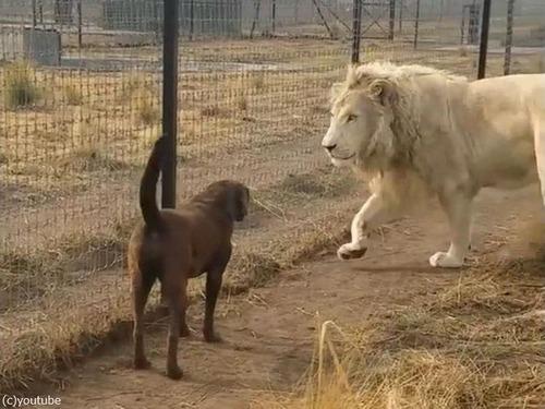 紳士なホワイトライオン01