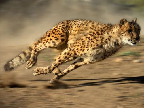 陸上最速の動物00