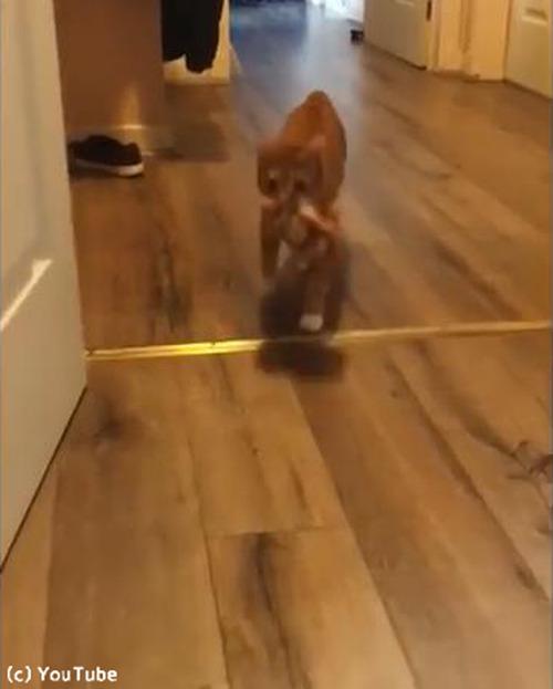 犬のようにおもちゃで遊ぶ猫…まさかの結末03
