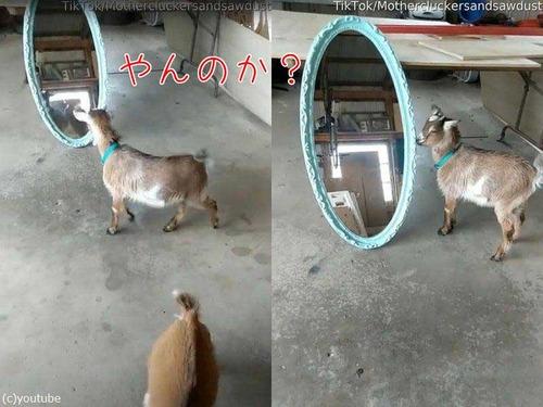 鏡と戦う子ヤギ00
