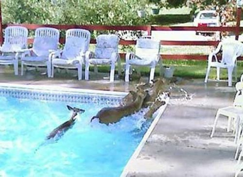プールに動物04