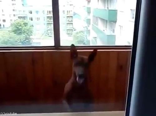 部屋に入りたい犬01
