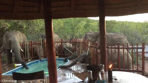 プールの水を飲む野生動物03