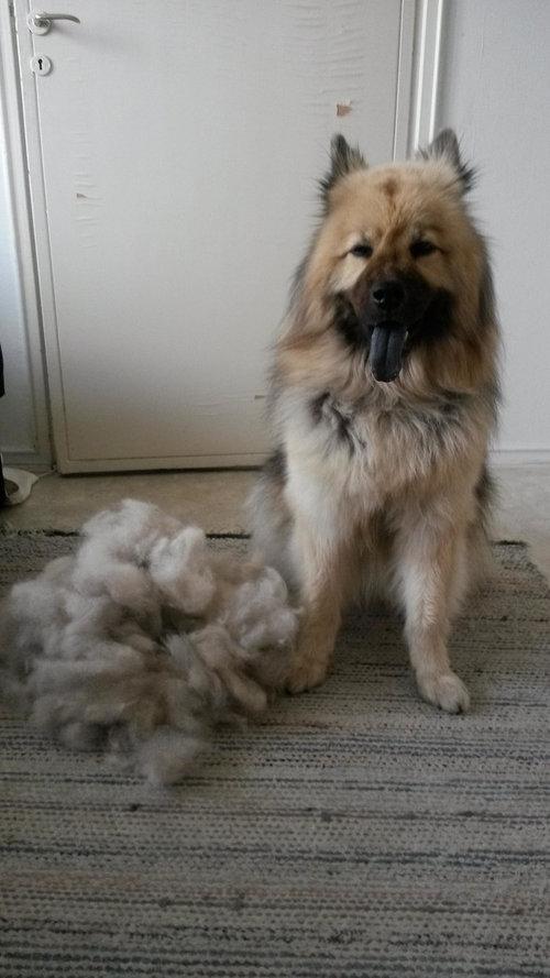 犬の毛変わり05