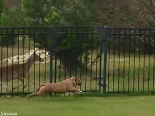柵越しの犬と鹿04