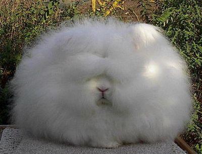 アンゴラウサギ02