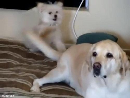 前の犬がよろこぶ→後ろの犬に悲劇04